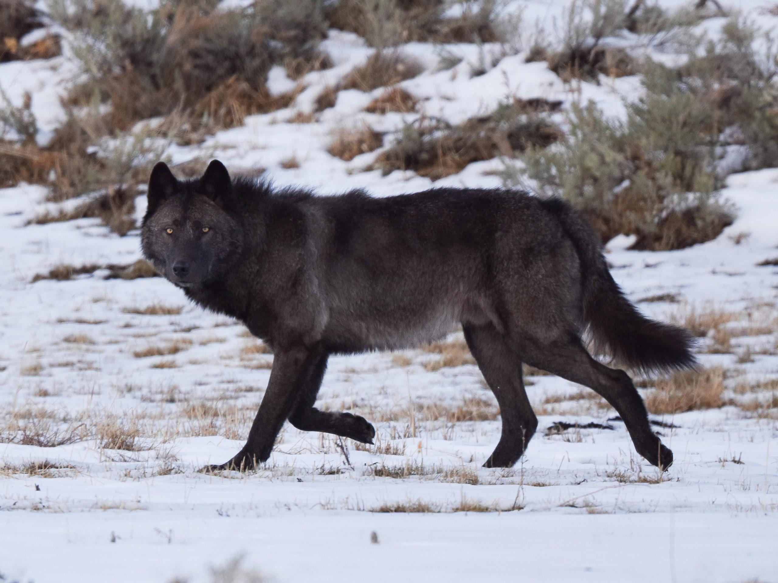 taylor bland yellowstone national park black wolf
