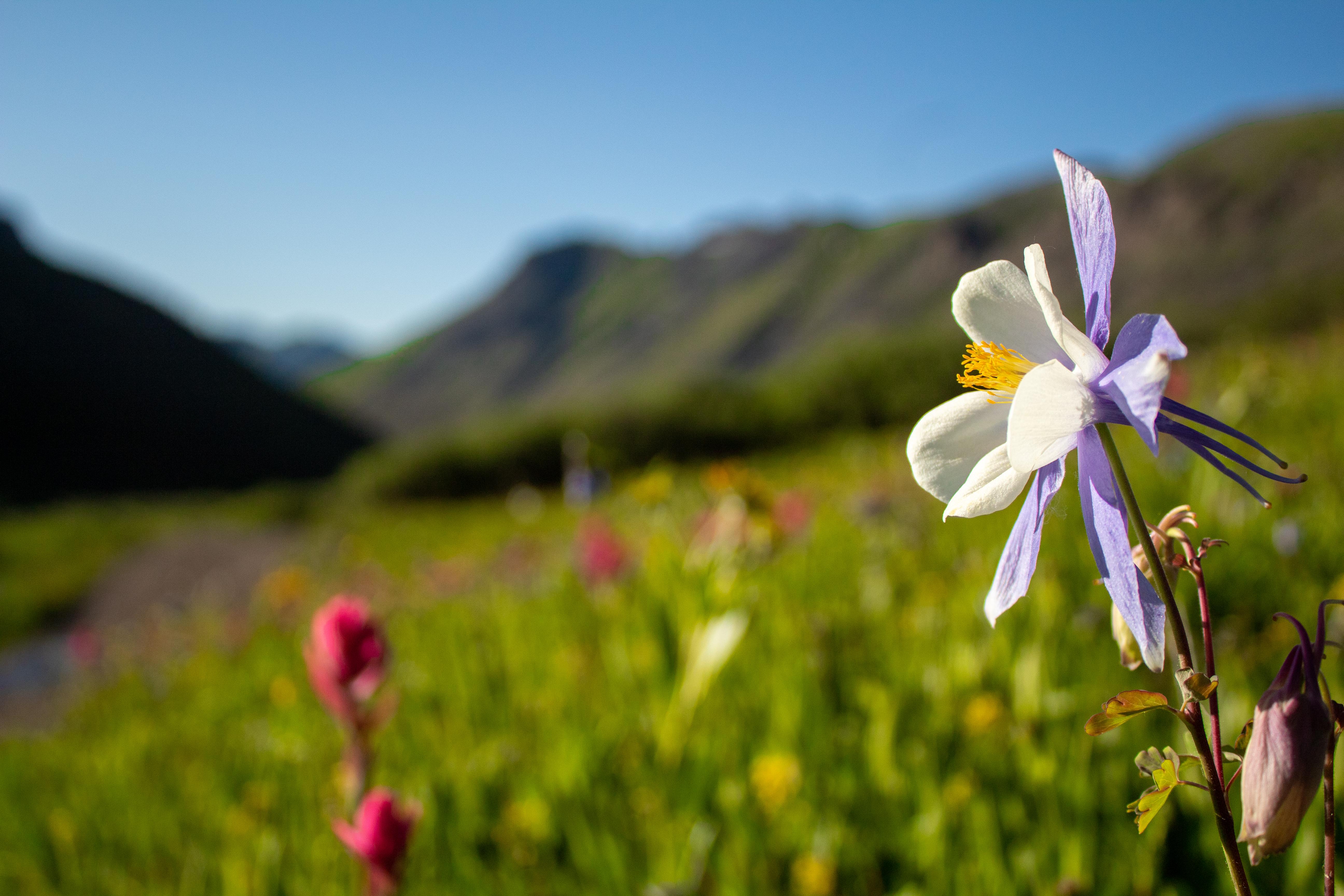 columbine wildflower meadow landscape